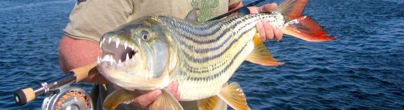 Tigerfish in the Okavango Delta