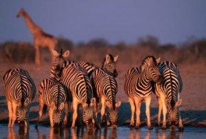 Zebra and Giraffe in the background in Namibia