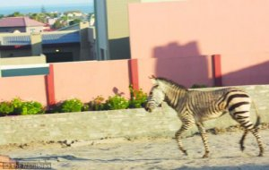 The zebra mare inside a yard in Ocean View before it scaled the boundary wall and darted for the plains towards the DRC informal settlement.