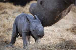 2007 - baby Tatenda, just a few hours old with his mother, Amber, who was tragically killed a few weeks later by poachers.