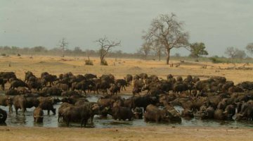 Buffalo at the Waterhole during the Hwange Game Count 2013