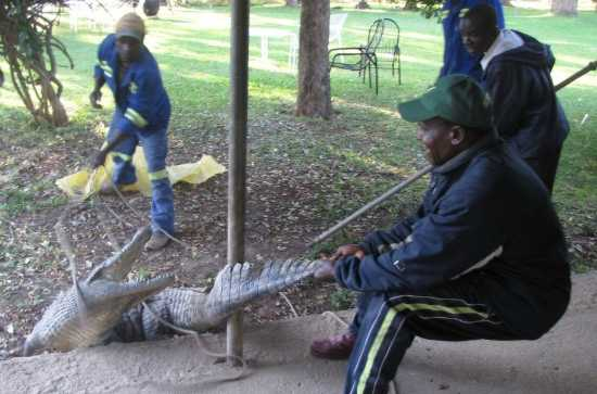 Catching the crocodile to transfer it to another location