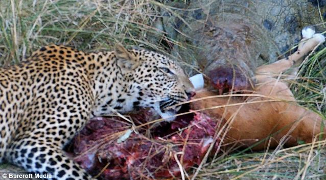 Cordon bleu - Now both smeared with impala blood, the animals continue to enjoy their meal, seemingly oblivious to photographers
