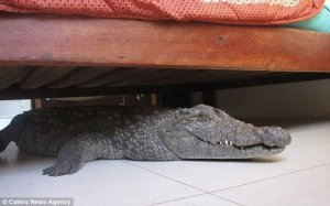 Crocodile sleeping under Guy Whittalls bed