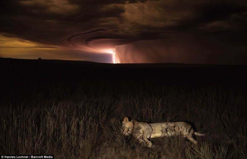 Dramatic - Night time work produced some incredible shots, including this lioness trying to sleep as thunder storm raged nearby