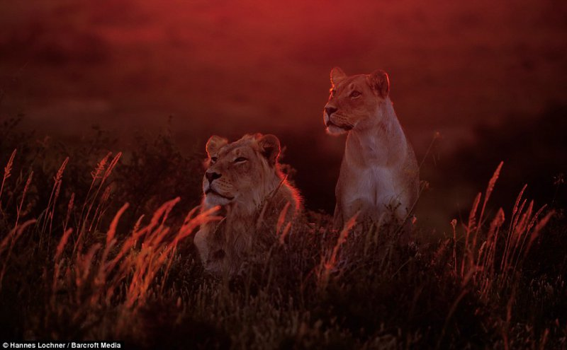 High alert - Luna was alone in the desert protecting and feeding herself and her cubs; the lions worked in a pride and there were always members on high alert for opportunities for food