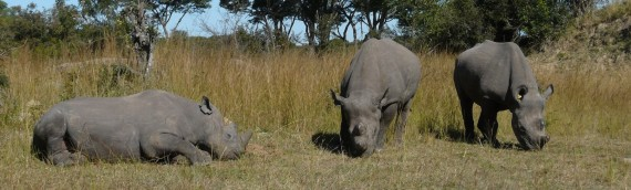 Imire's pregnant Rhino