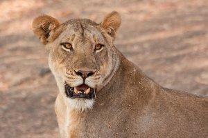 Lion escapes from ZAWA's trap in Kabompo