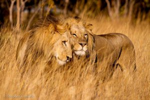 Lions in Liuwa Plains National Park