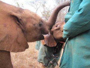 Musolole (left) and Nkala at the Elephant Orphanage Project
