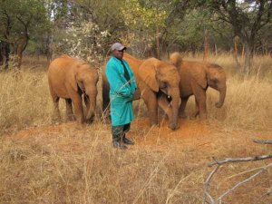 Orphans at the Elephant Orphanage Project's Lilayi Elephant Nursery take a morning walk with their keeper