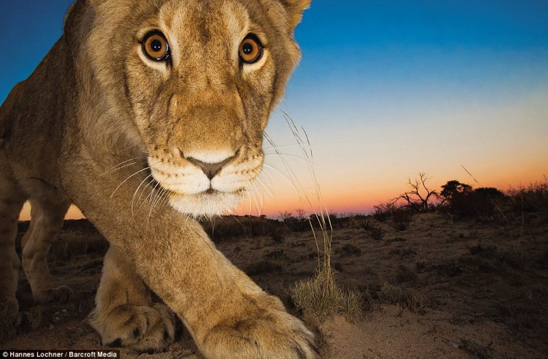 Predator - Among the many predators in the desert that would eat Luna's cubs were the lions