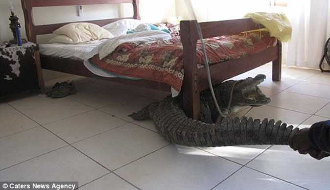 Pulling the crocodile out from under the bed