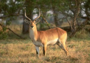 Red Lechwe looking in anticipation