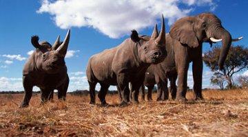 Black rhinoceros and Africa elephant, Zimbabwe