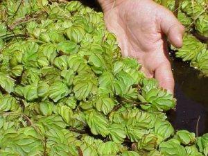 Proliferation of aquatic weeds (i.e. Salviniamolesta) may lead to eutrophication
