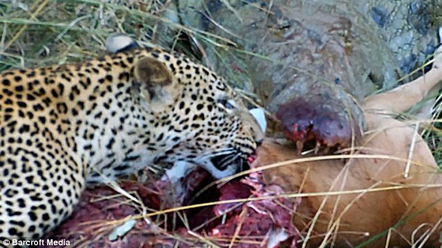 Sharing platter - The daring leopard delves in for a bite of the grizzly flesh, undaunted by the razor-sharp crocodile jaws just inches away