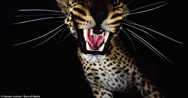 Snarl - A close-up of a leopard's mouth shows a healthy set of sharp teeth to the camera