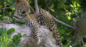 Spotted - The young male leopard catches sight of a tasty morsel from his vantage point in the trees of South Luangwa National Park