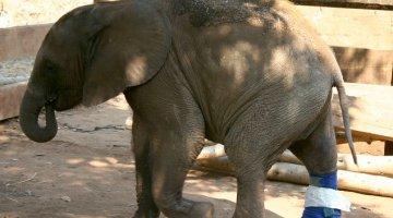 Suni the African Elephant