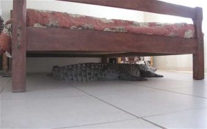 The 300 pound croodile lying under Guy's bed