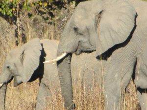 Wild Elephants in Kafue National Park