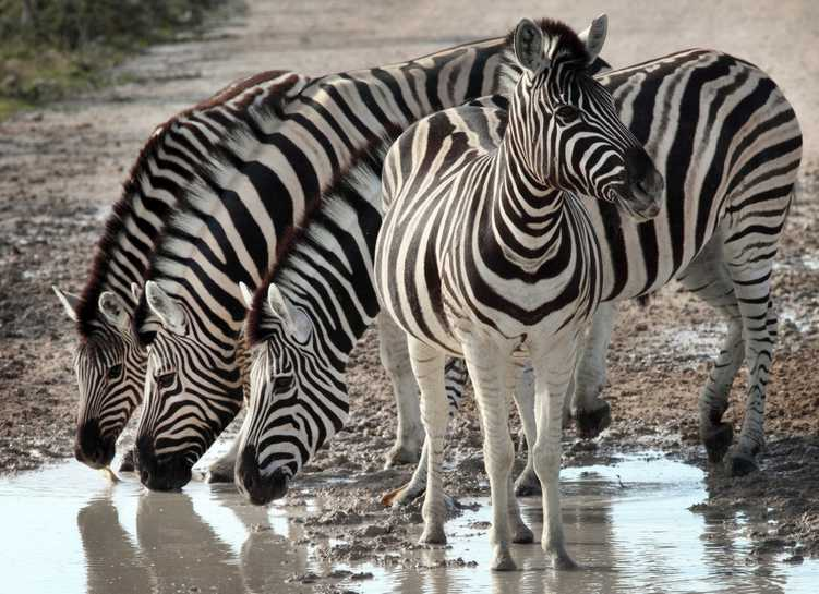 Zebra in Etosha National Park