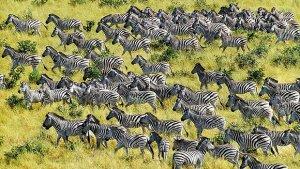 Zebras on the move in Chobe National Park, Botswana