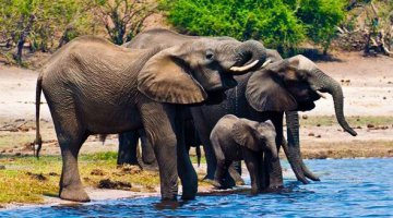 A group of elephants drinking water in Sambezi river at Chobe National Park, Botswana