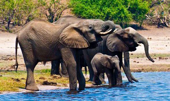 A group of elephants drinking water in Sambezi river at Chobe National Park, Botswana