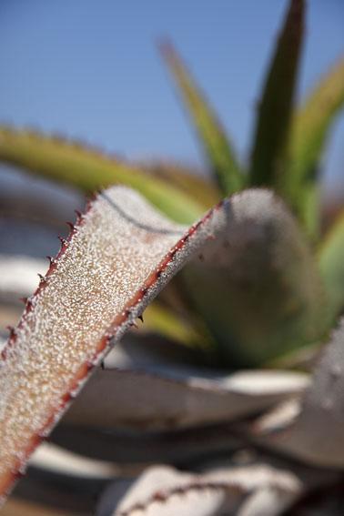 Cactus close up in Matobo Hills