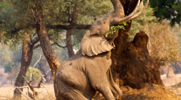 Elephant cow reaches for the leaves of a tree at Mana Pools