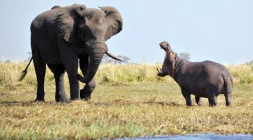 Elephant vs. Hippo on the island in the middle of the Chobe River