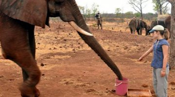 Elephants understand the meaning of pointing