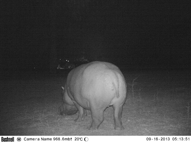 Hippo wondering around in the moonlight at Mana Pools