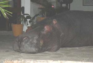 Hippo at Mukambi Safari Lodge