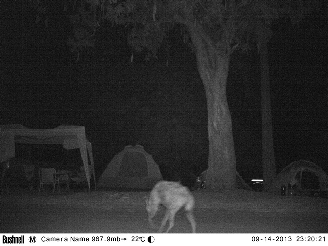 Hyena tip toeing through the campsite to see what it can find