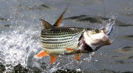 Tiger fishing on the Zambezi River