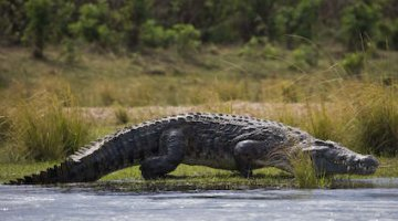 ZAWA officer guns down crocodile