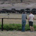 Buffalo Hwange pan