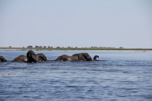 Another world – eles swim across the lush Chobe River.