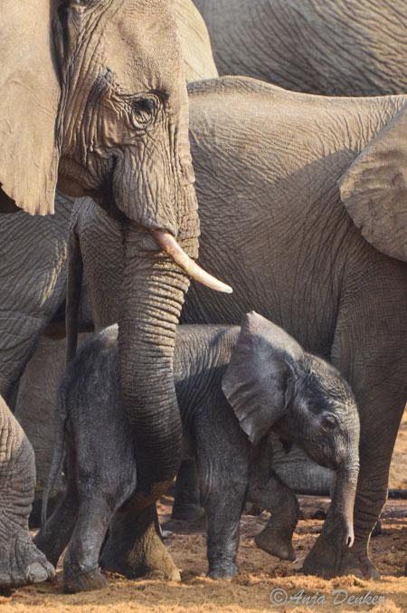 etosha elephants 11