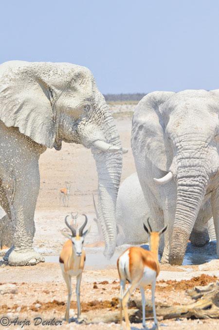 etosha elephants 5