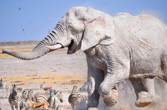 etosha elephants 7