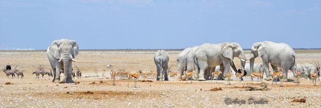 etosha elephants 8