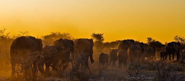etosha elephants 9