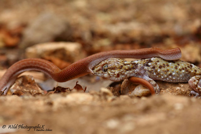 gecko with snake 3