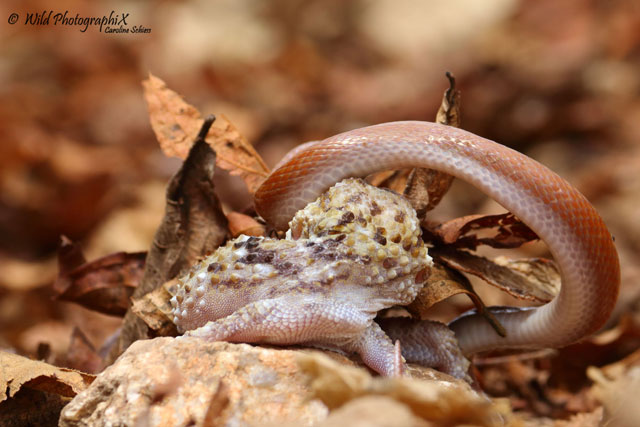gecko with snake 7