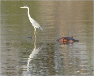 Heron catches a hippo taxi in Long Pool