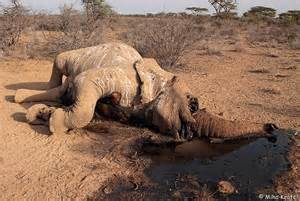 poached elephant